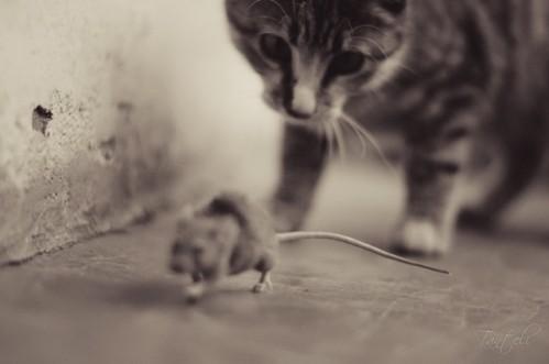 dessin de chat qui mange une souris