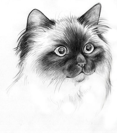 dessin de chat sacre de birmanie
