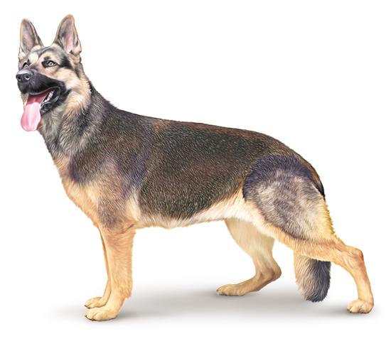Dessin de chien berger malinois les dessins et coloriage - Dessin de chien berger allemand ...