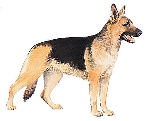 dessin de chien berger malinois