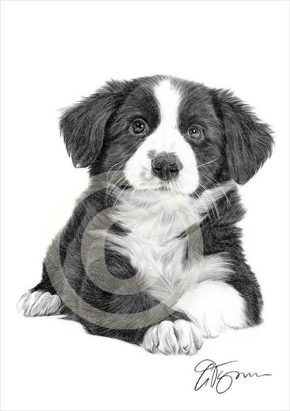 dessin de chien border collie