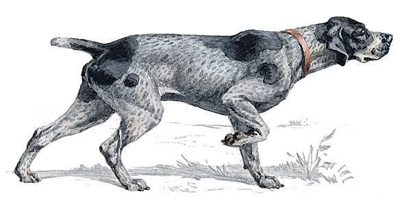 dessin de chien braque