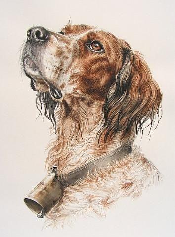 dessin de chien setter anglais